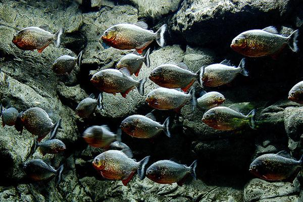 В большом аквариуме плавают не только рыбы, но и работники парка с аквалангами.
