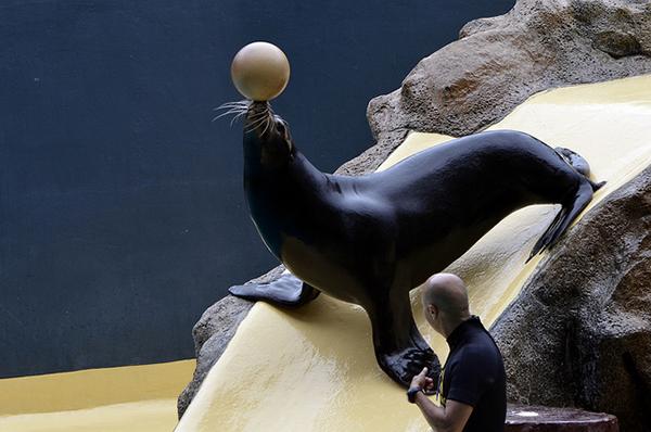 Выступление морских котиков и львов — самое яркое шоу в программе.