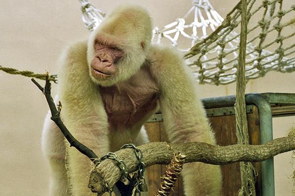 Горилла-альбинос Снежок 40 лет была главной звездой коллекции животных.