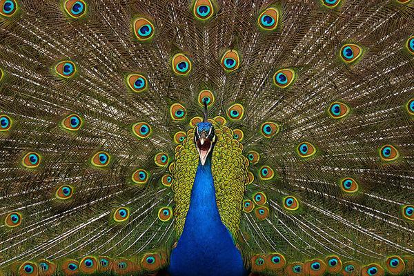 Свой роскошный хвост павлин раскрывает только перед павлиньими самками.