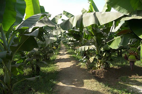 Банановая роща.