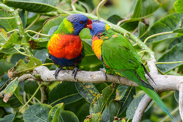 Яркие попугаи свободно летают по территории.