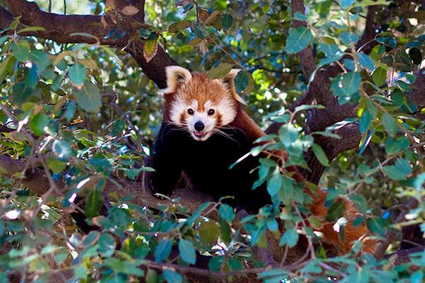 Здесь можно увидеть редкую малую панду.