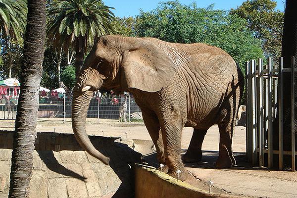 Слон в своём загоне чувствует себя комфортно.