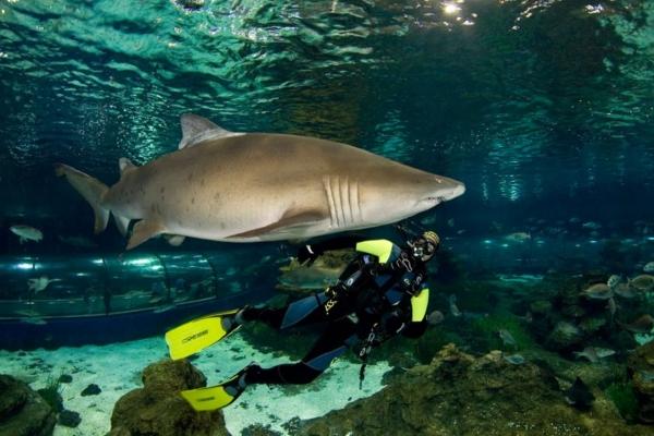 Туристы с сертификатами дайверов могут поплавать под водой с акулами.