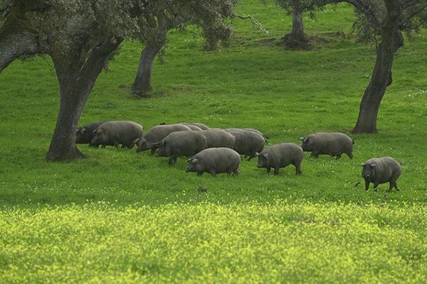 Хамон готовят из мяса свиней иберийской породы.