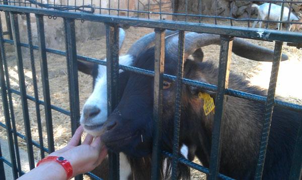 Испанские козы.