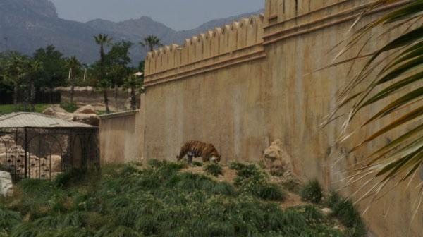Тигры в вольере.