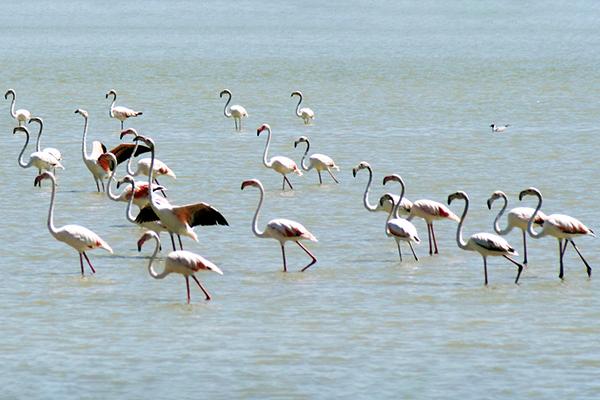 Птицы фламинго.